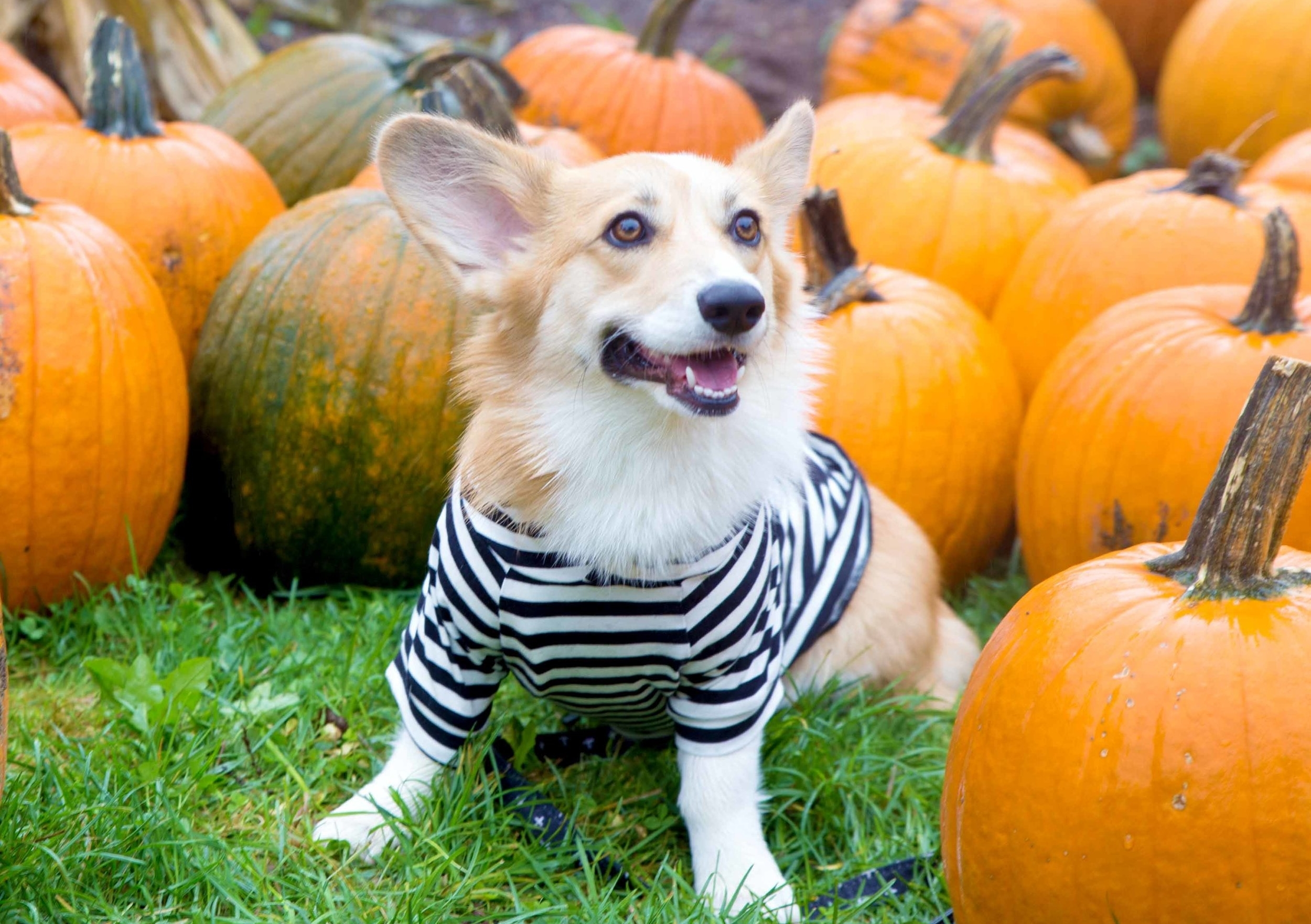 Corgi Pumpkin Patch Picture on The Dapple Dog Lifestyle Blog