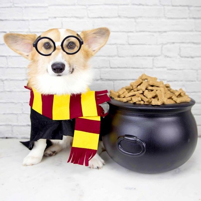 Corgi Harry Potter Dog Costume on The Dapple: Dog Lifestyle Blog