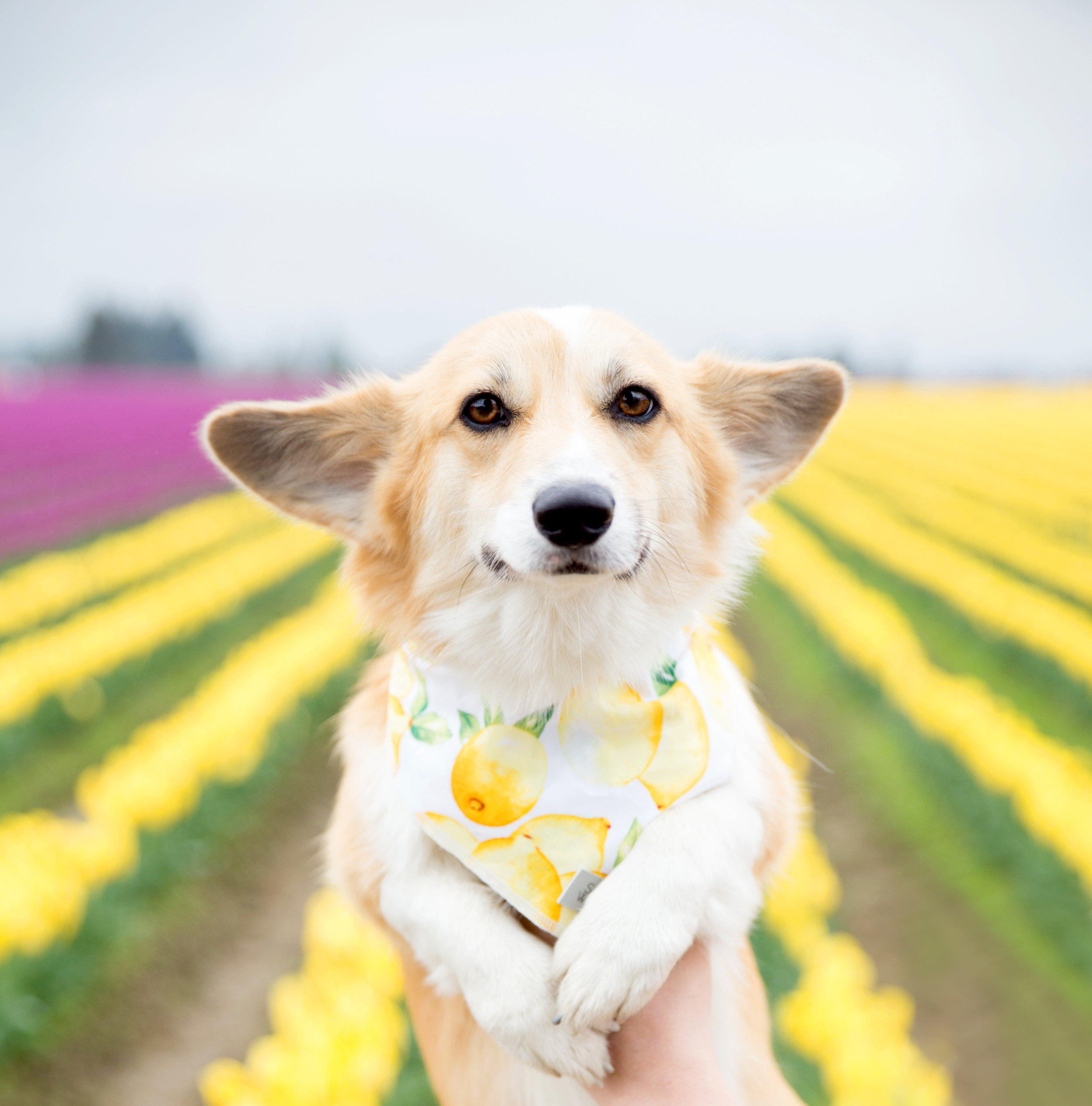 Lizzie at the Skagit Valley Tulip Festival wearing  a bandana from Sassy Woof