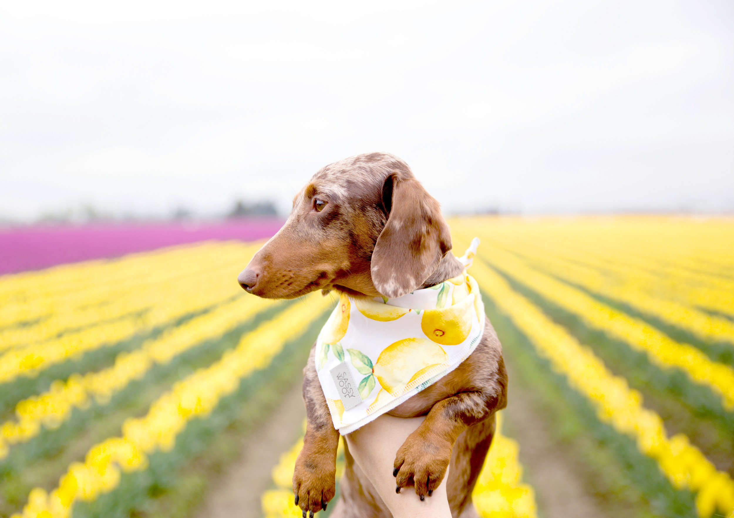 Bringing a Dog to the Skagit Valley Tulip Festival: The Do's and Don'ts