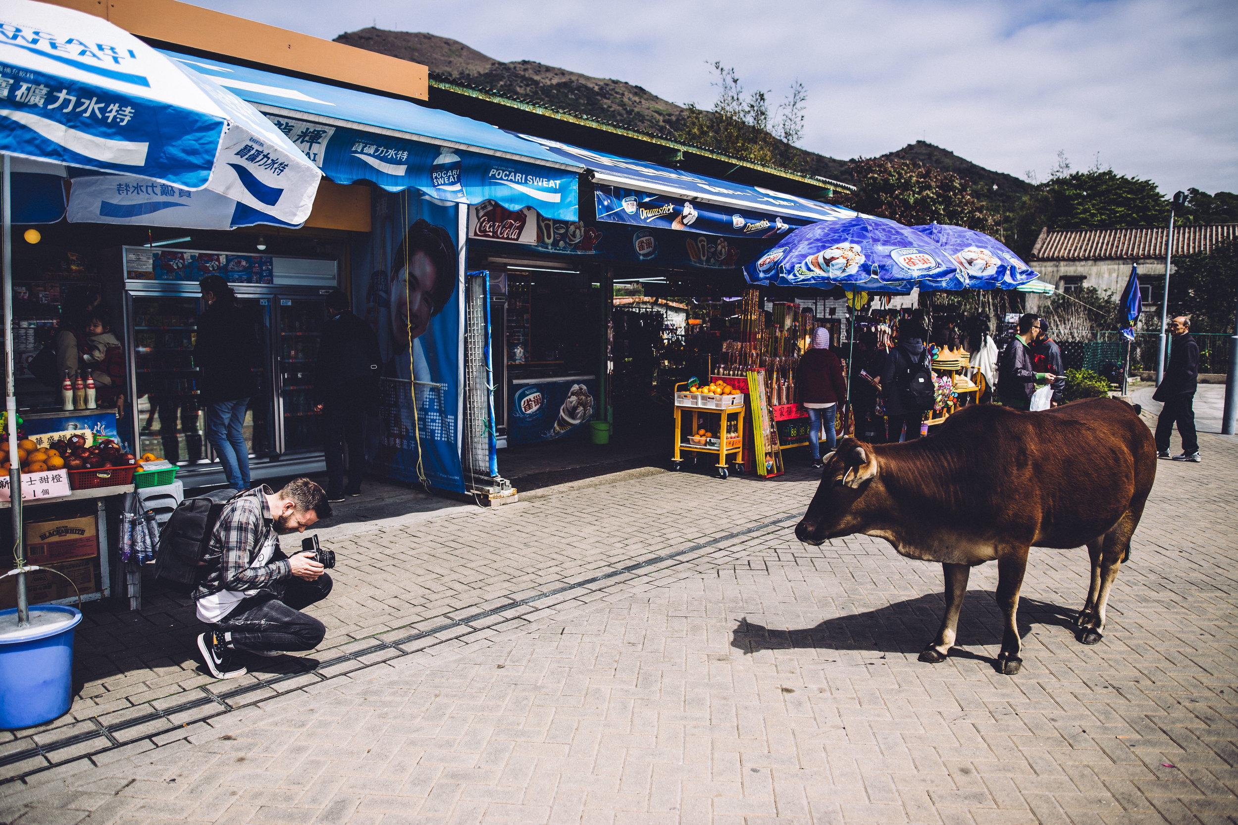Matt versus Cow