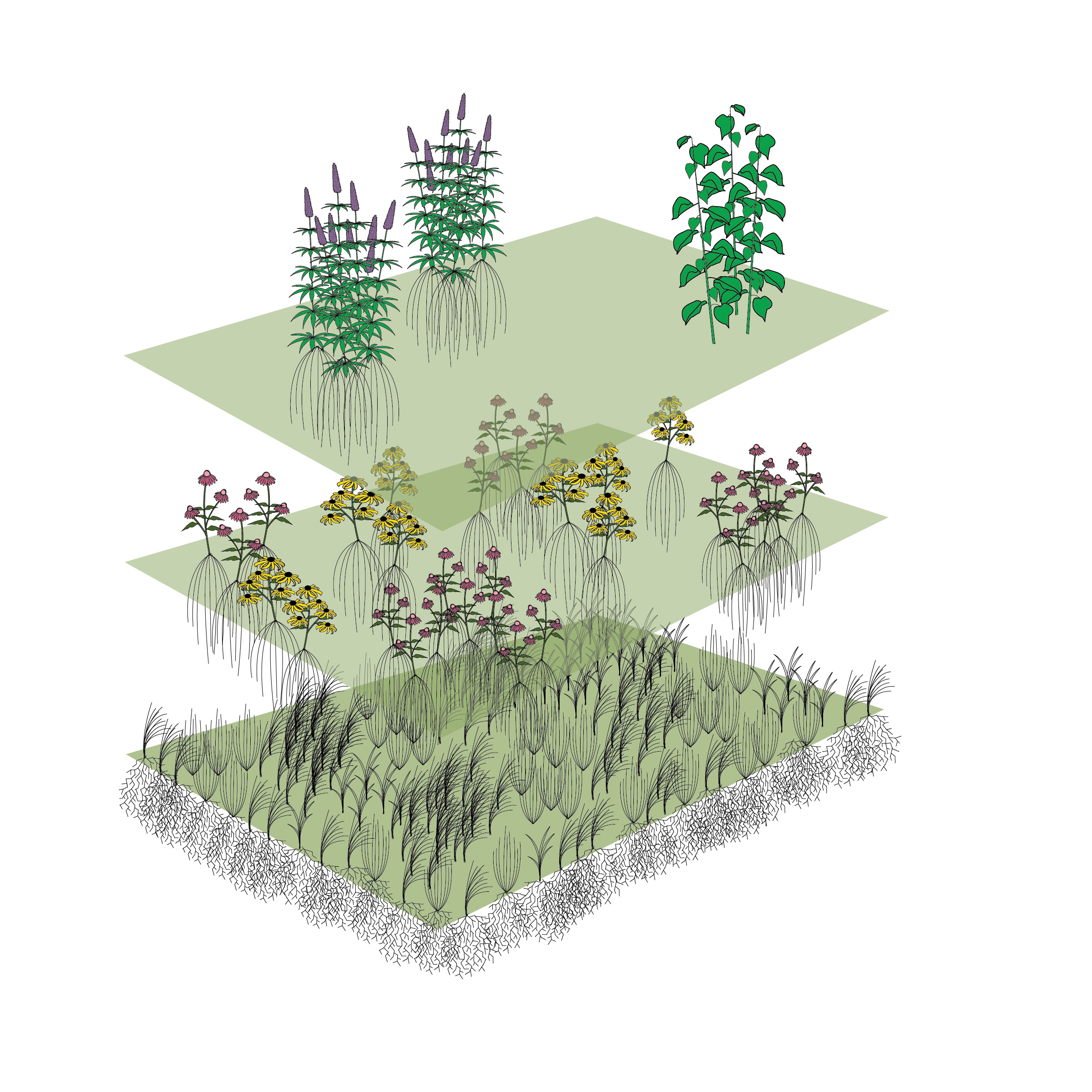 Our three-layered approach involves native grass seed on the bottom layer, wildflower plugs on the second, and more structural plants (often potted) on the third, or top, layer. Illustration by Steve Heymans.
