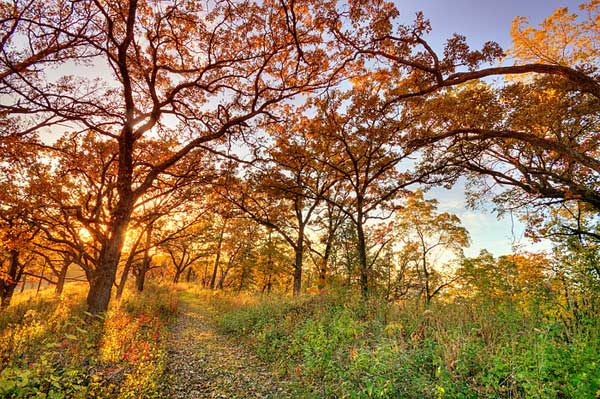 The Oak Savanna is a biome that has evolved in the midwest since the last Ice Age some 12,000 years ago. It is characterized by a canopy that provides less than 50% shade in the summer.