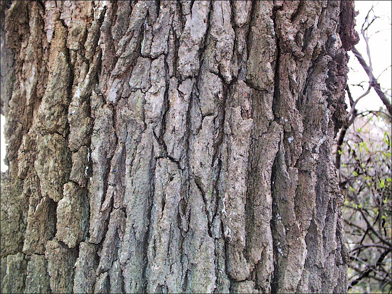 The deeply-fissured bark of the Bur Oak, which functions like the ribs of a radiator, has evolved as an adaptation to fire.