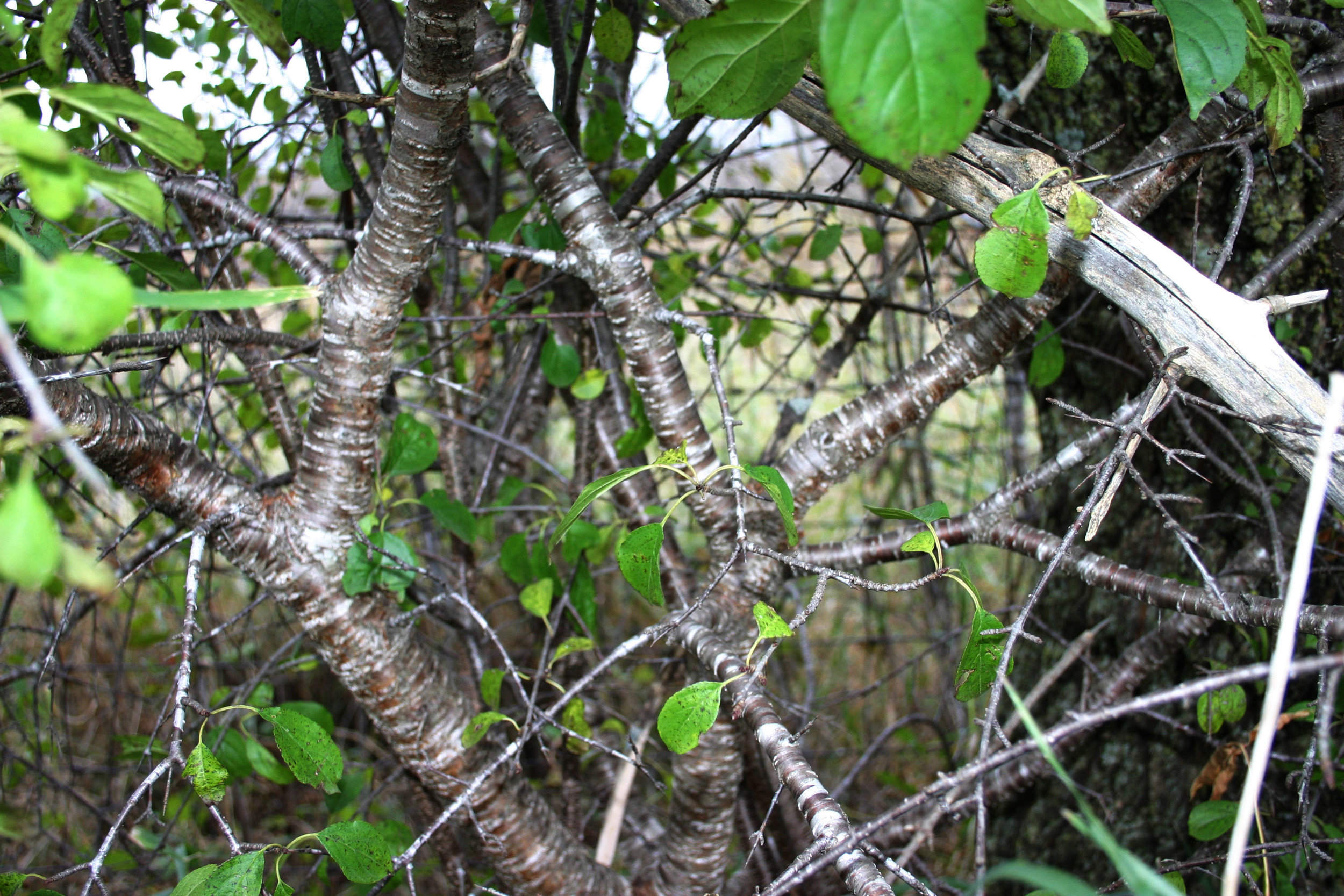 Buckthorn is an invasive plant that will take over a whole understory of a woodland or Oak Savanna, leaving it inaccessible to human and non-human creatures alike.