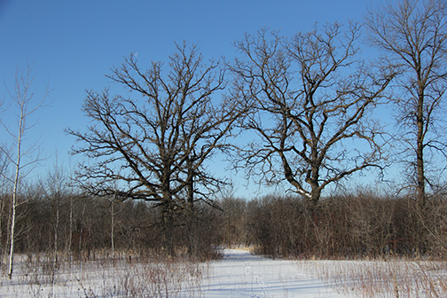 The three Bur Oaks of our wetland
