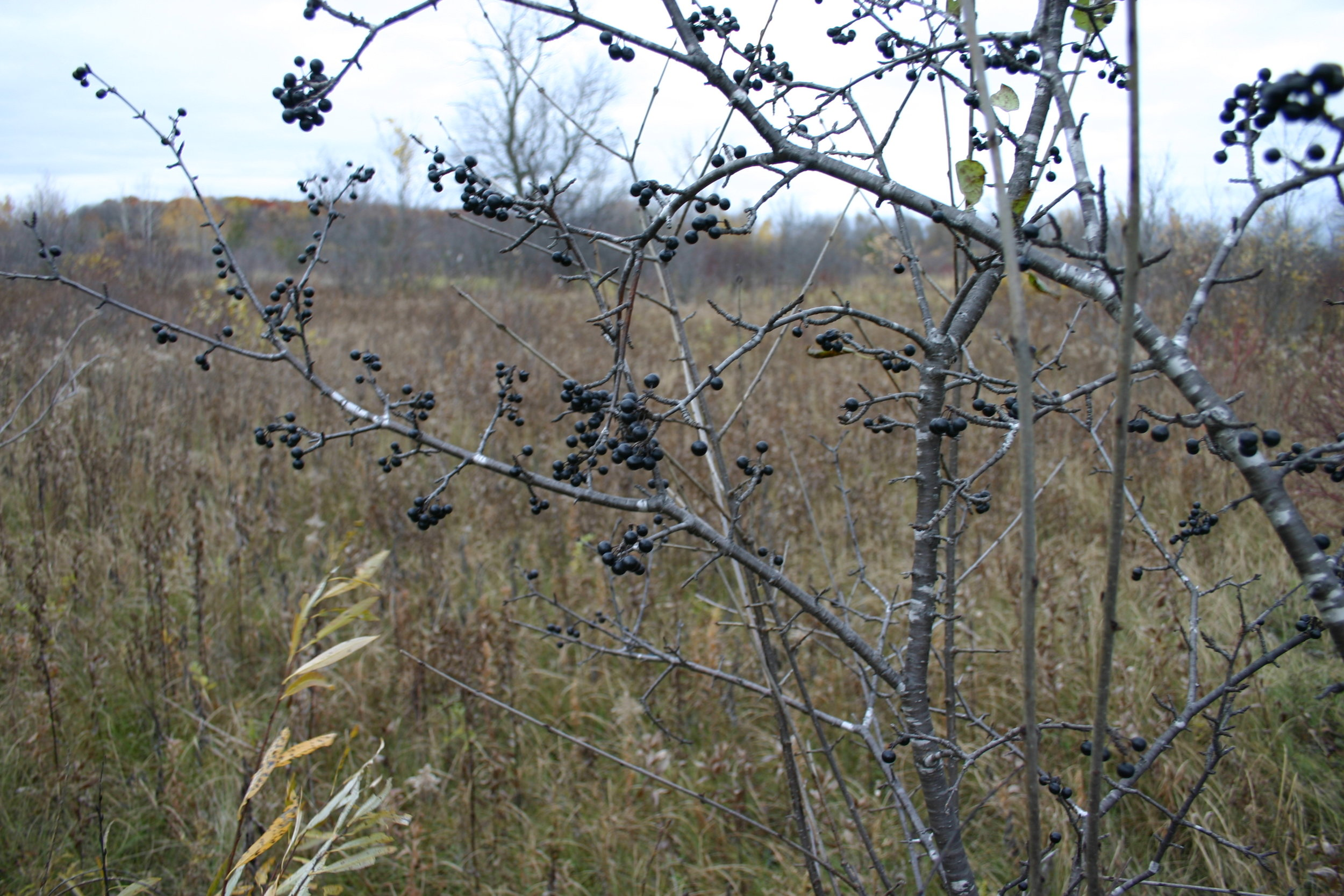 Buckthorn berries are attractive to certain birds, which eat and spread the plant. The berry producing plants are the ones we go after first.