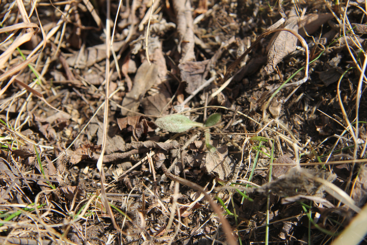Here is a Purple Coneflower poking through the duff. Chances are this one germinated last year and was covered with snow in this state. Notice the bits of Bluegrass around it that are greening up.