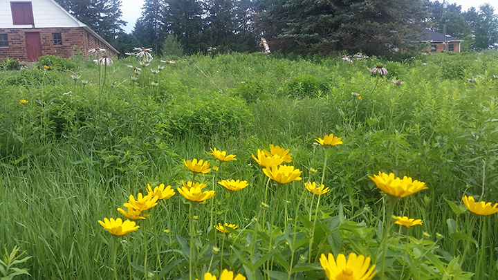 Of the yellow flowers, the Oxe Eye Daisy has much brilliance and size. You can see some Purple Coneflowers behind them, but still pale in color.