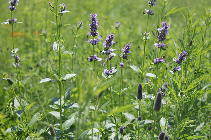 Hyssop is a very nice lavender colored flower and is a very long-blooming plant, beginning in late June and continuing until late August.