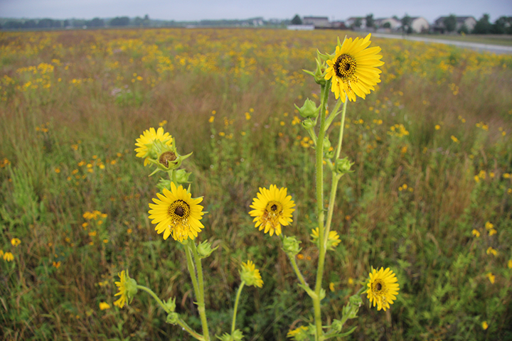 The height of the Compass Plant, shown here, is up to seven, sometimes even eight feet tall. Such contrast adds to the beauty of the prairie.