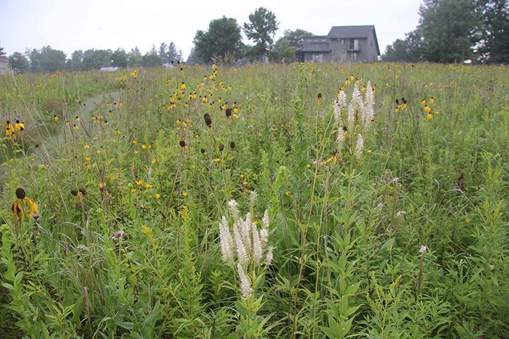 We could use more white in the prairie this time of year. And that is what the Culver's Root flower provides. I seeded this prairie about eight years ago, and this is the first year that the Culver's Root has shown itself this dramatically.