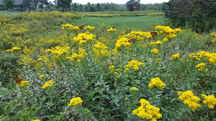I took this photo a couple weeks ago when the Stiff Goldenrod was in full swing. Had I taken a close-up photo, you would see that these plants were not only full of monarchs, but bees as well. you can see the bees on the flower toward the bottom of the screen.