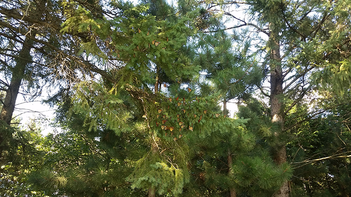 Though at a distance, you can see the branches of this spruce tree full of monarchs, hanging like bats in the shade of the grove.