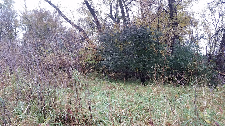 Here we see the Reed Canary grass again, quite active, in front of a Buckthorn shrub in the woods. Its dense, green color suggests that is is very active right now. Its activity is not directed toward growth, but toward storing nutrients for the winter. It is not putting out new foliage, but rather gathering carbon from the air and soil and storing it as sugar so that it not only survives the winter, but gets a jump in spring. Hence the success of this invasive, non-native shrub, Buckthorn.