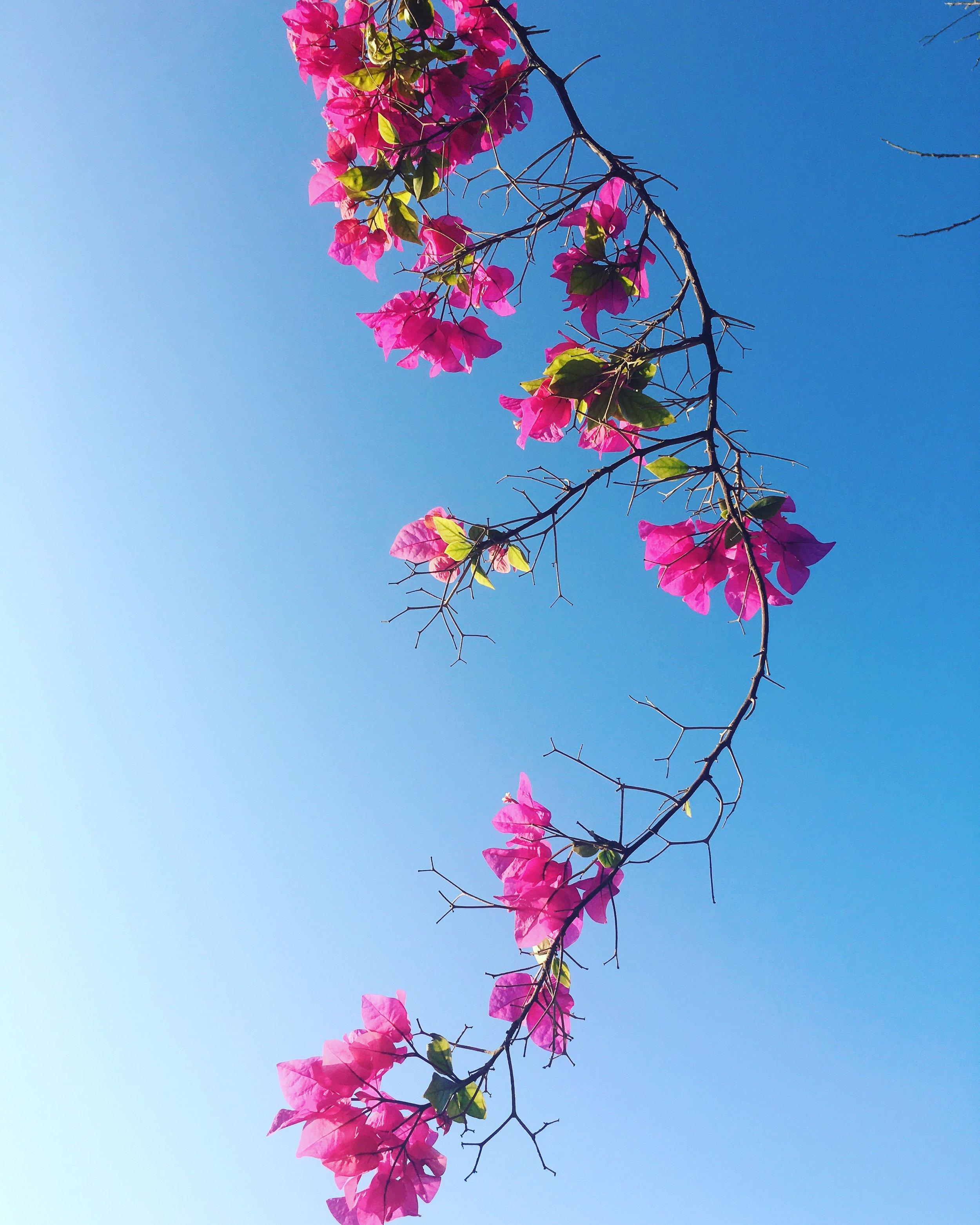 Bougainvillea in Oman, by Priyanka Sacheti.