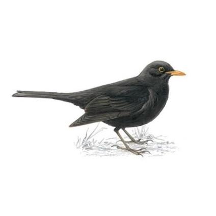 Blackbird, RSPB.