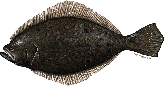 Flounder, Summer