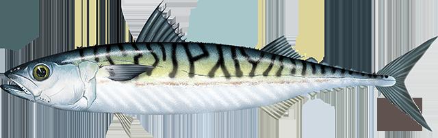 Mackerel, Atlantic
