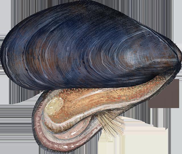 Mussel, Blue