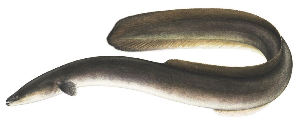 Eel, American