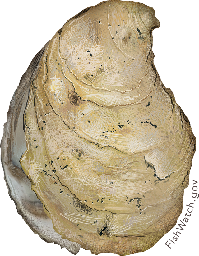 eastern_oyster.png
