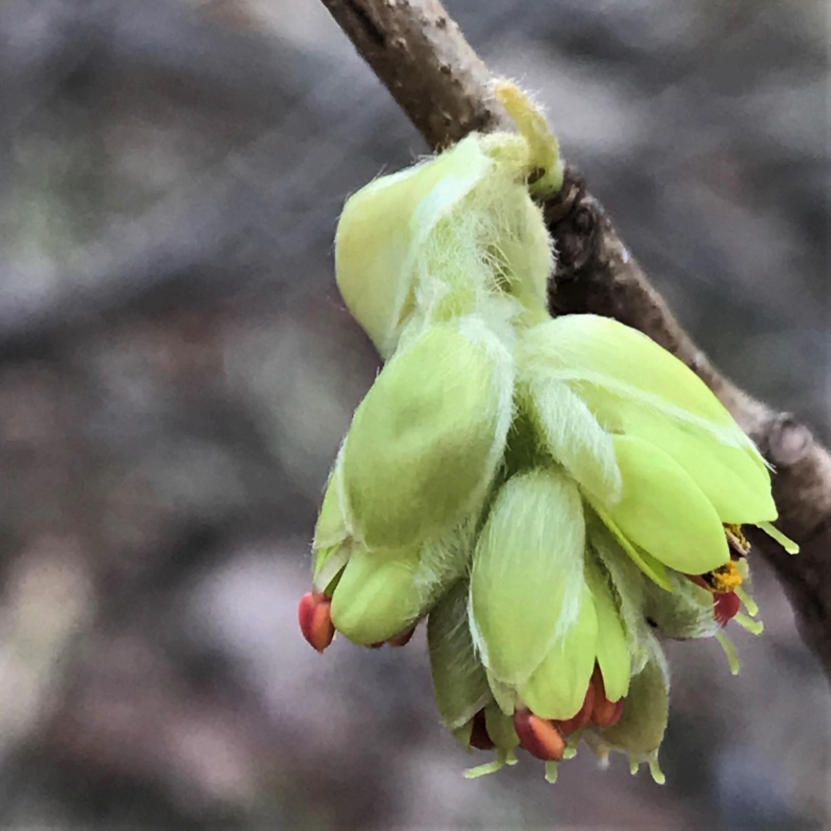Hamamelis bud