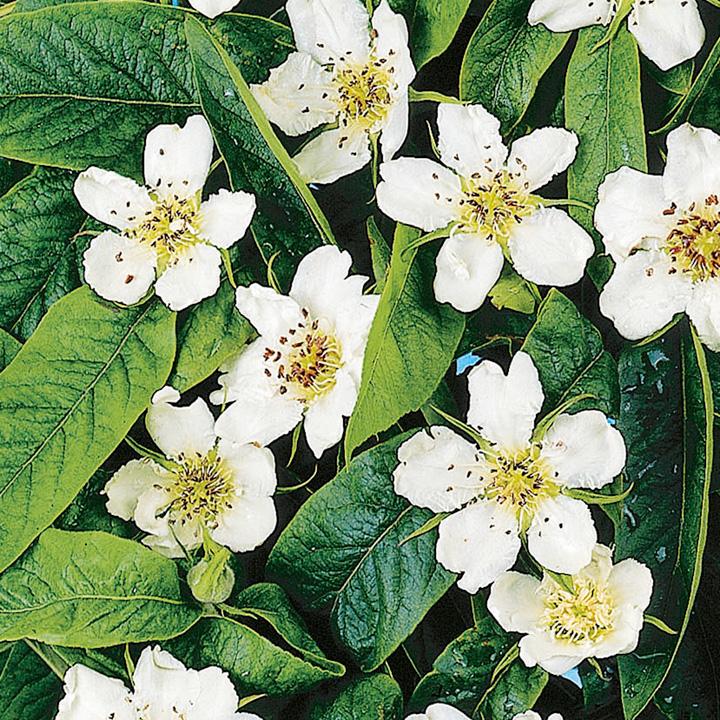 Medlar flowers.jpg
