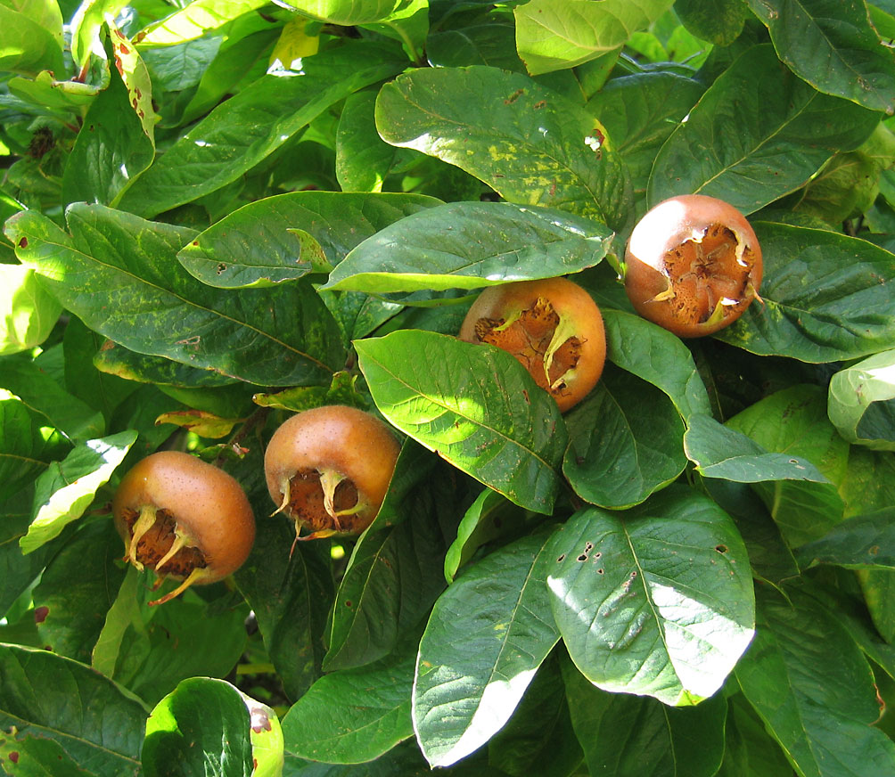 Medlar_pomes_and_leaves.jpg