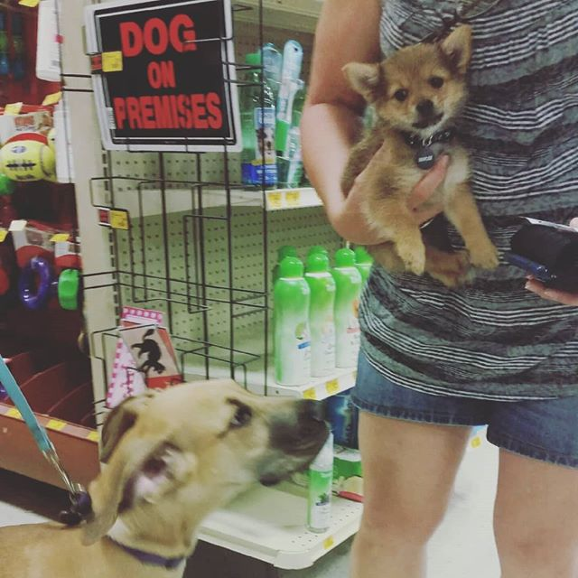This #Pomeranian #yorkie mix puppy was hesitant to meet the #greatdane puppy but was greeted with a calm kiss. . . . . . #puppyfriends #puppylove #greatdanesofinstagram #yorkiesofinstagram #pomeraniansofinstagram #porkie #porkiepuppy #petsmartplaydate #petsmarttraining #longmontdogs #longmontcolorado