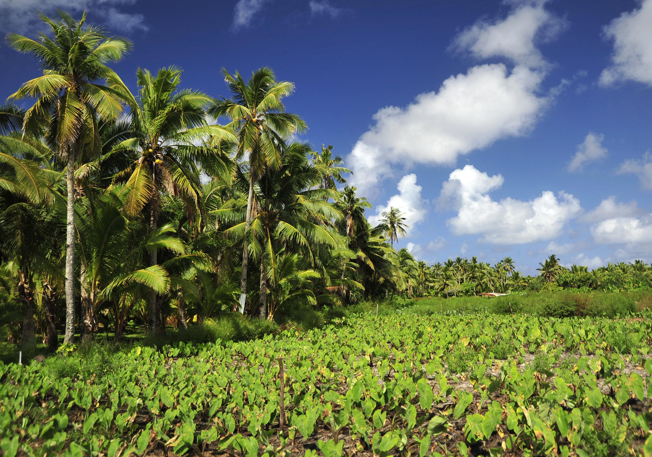Aunu'u Island taro plantation - National Park Service of American Samoa.jpg