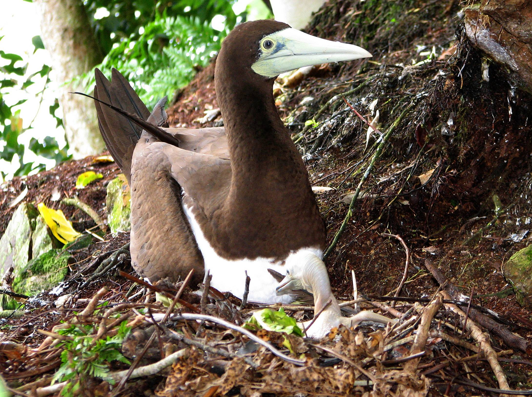 Brown Booby Nest - National Park Service of American Samoa.jpg