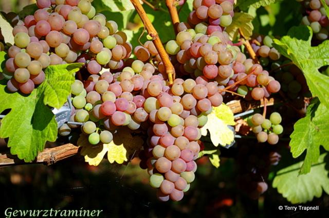 Averill Creek Vineyard Gewurztraminer