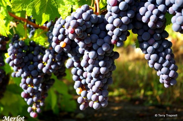 Averill Creek Vineyard Merlot