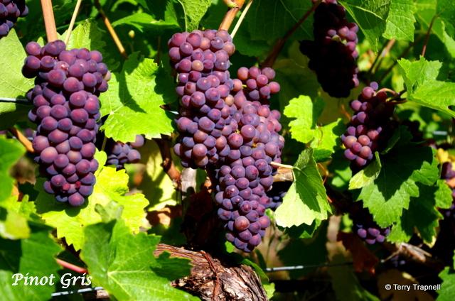 Averill Creek Vineyard Pinot Gris