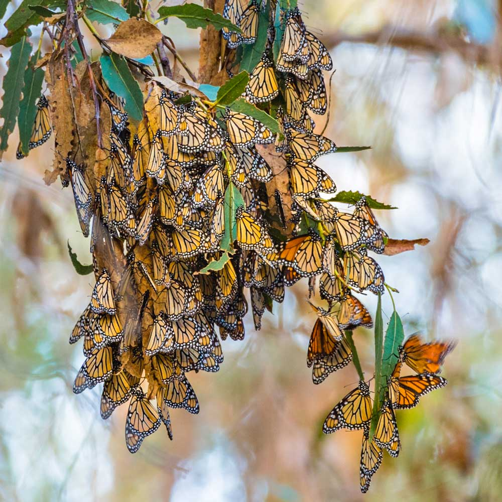 Elwood Monarchs