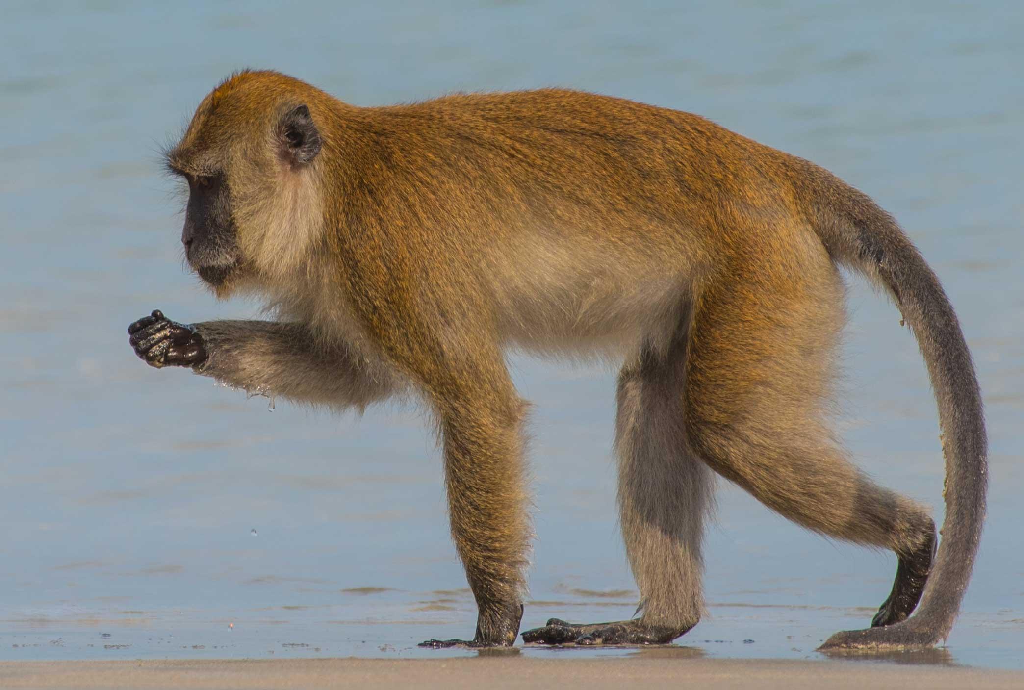 Beach Monkey