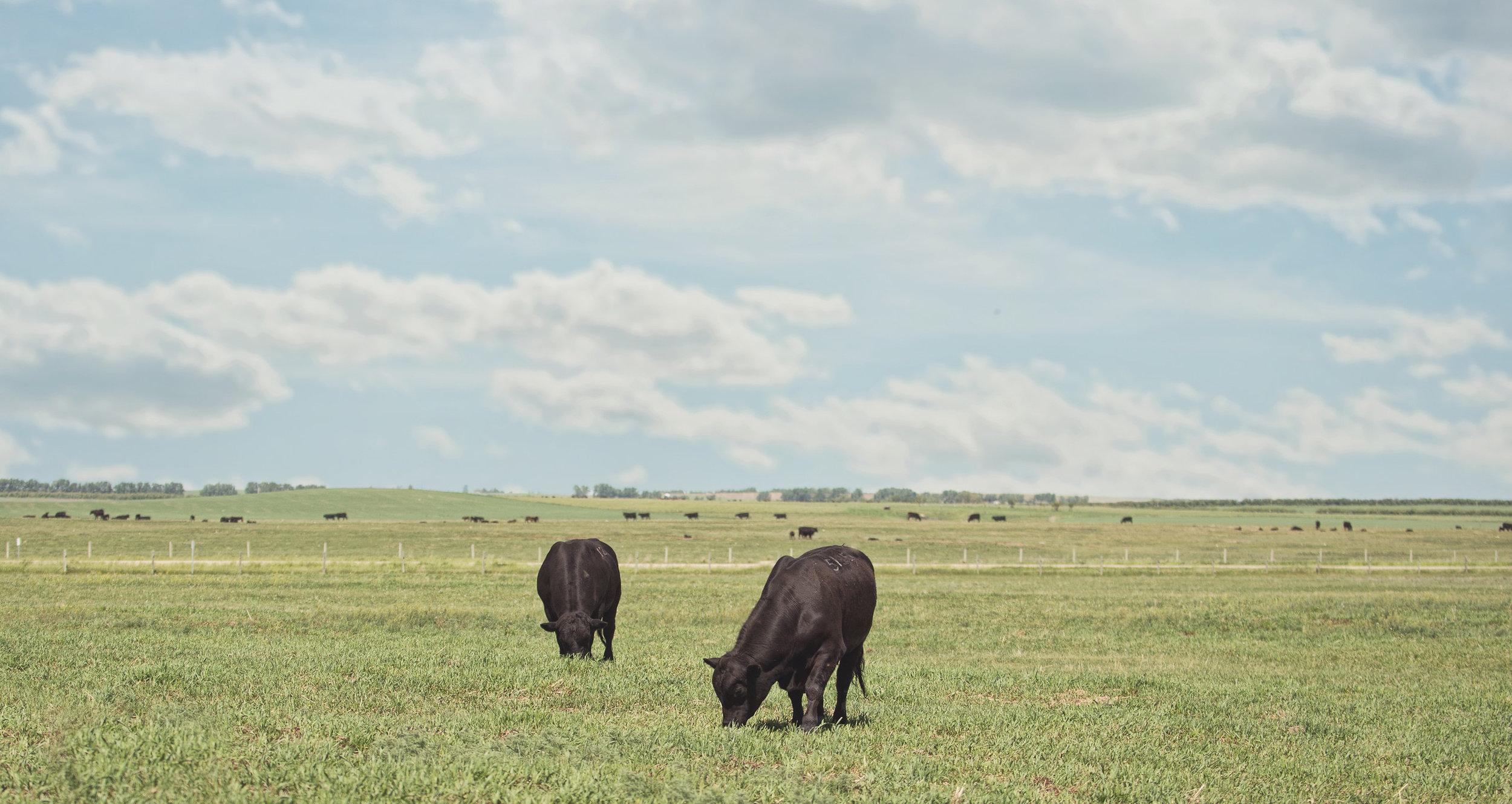 Angus Bulls Acme Ranch.