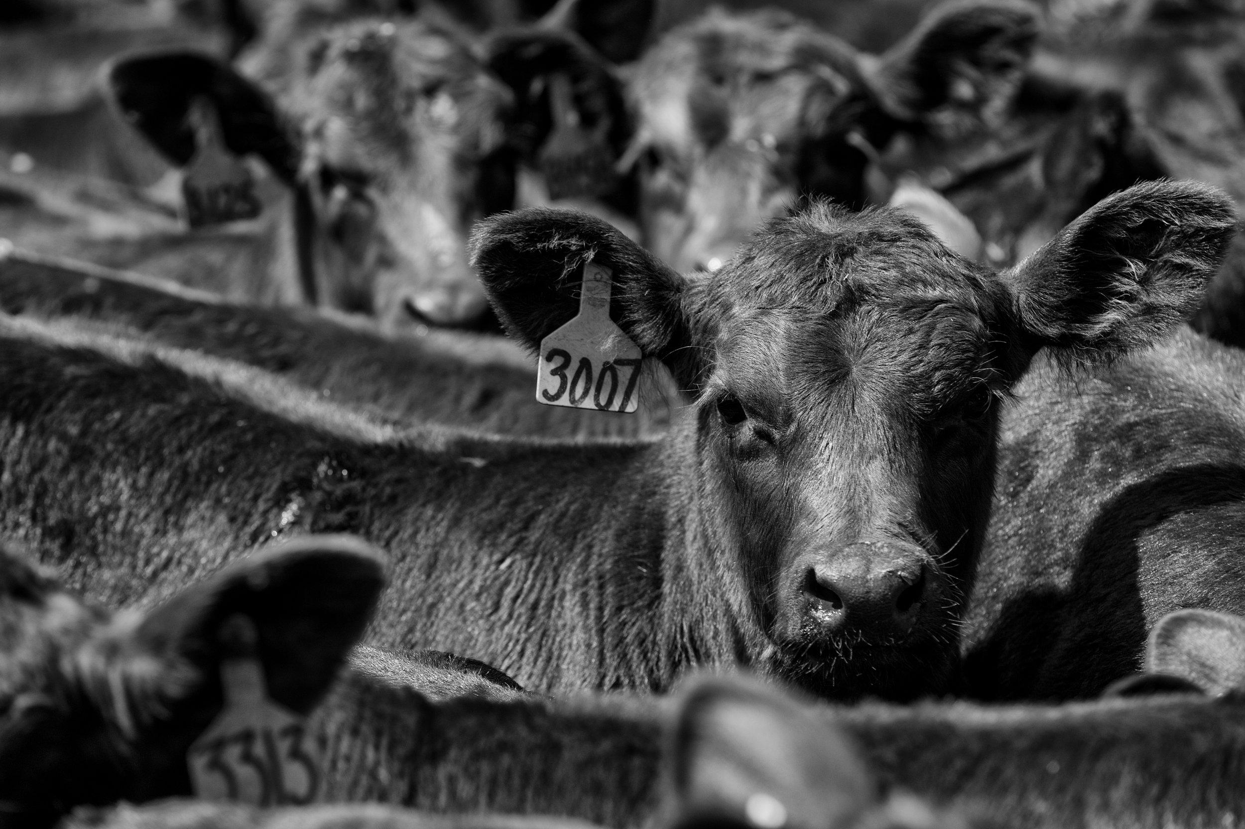 Echo Sand Ranching Herd -