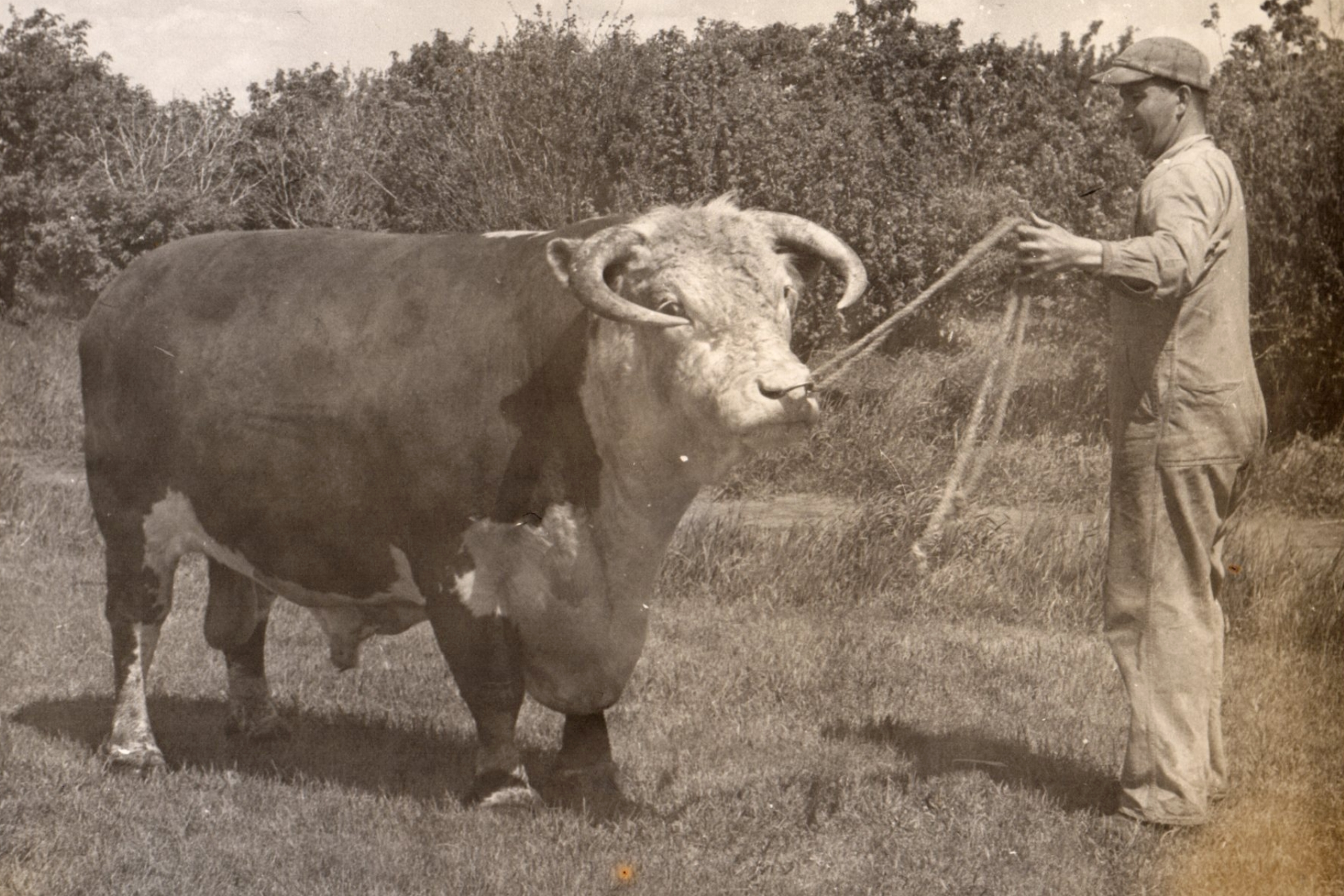 Doug's father Stan Price showing a Herford bull