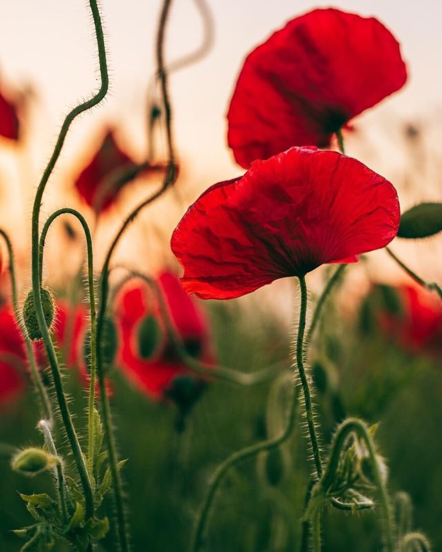 🕊🕊🕊 • #uk_shooters #weallshootphotos #photosocuob #westmidlands #bbcmidlands #d610 #visitengland #explore_britain #igersbirmingham #igersbirminghamontour #loves_united_kingdom #icu_britain #mybritain #ig_england #loves_britain #discoverbritain #visitbritain #poppies #poppyflowers #brummie_gems #wexphoto #wmgeneration #colorcolourlovers #dscolors #wmwildlife #worldinbloom #underthefloralspell #inspiredbypetals #flowerfields #sunset_visions
