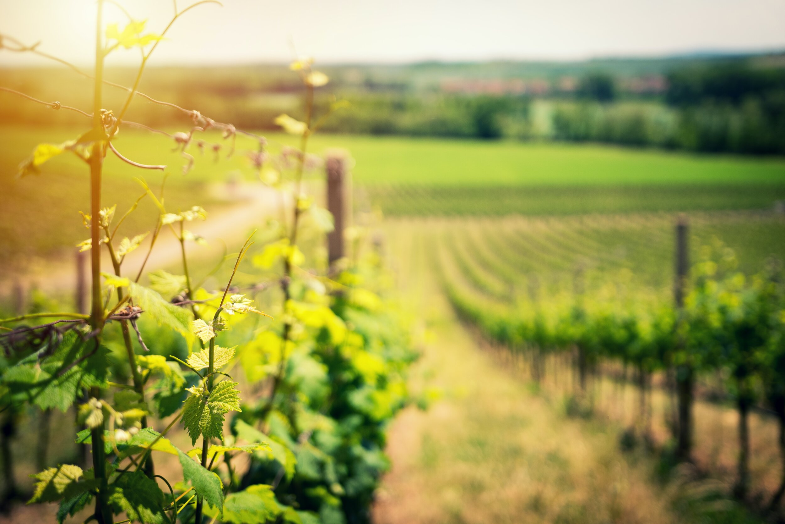 The South Downs is home to some of the best vineyards in the world (in our opinion!)