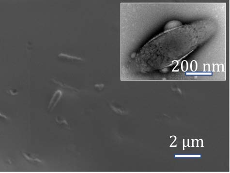 Electron micrographs of bacteria embedded in silk coatings show preservation of cellular ultrastructure.
