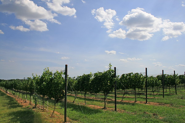 pedernales_vineyards_600.jpg