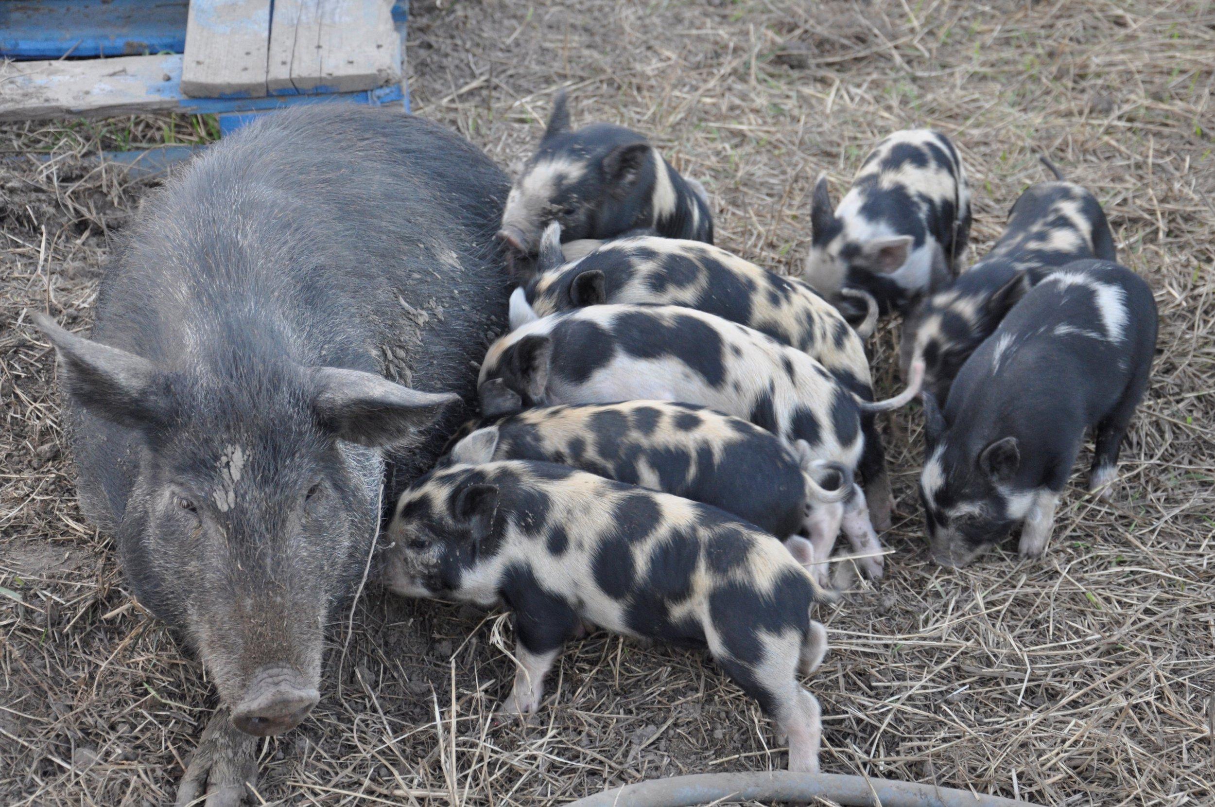7 Hungry Pigs.JPG