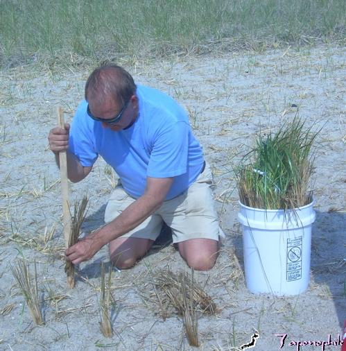 """Gordon Peabody of Safe Harbor, demonstrates his preferred """"low tech"""" method of using a wooden stake to create a hole of the proper dimensions for planting grass."""