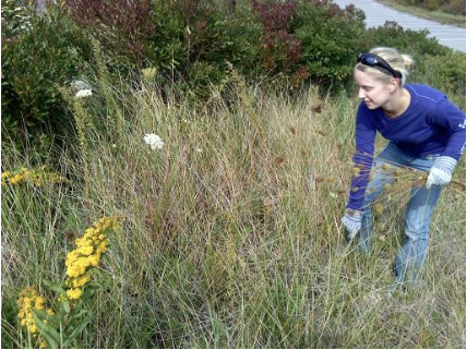 Safe Harbor Intern Vida, removing Queen Ann's Lacebefore it goes to seed.     This invasive plant was originally brought to this country as a wild carrot.