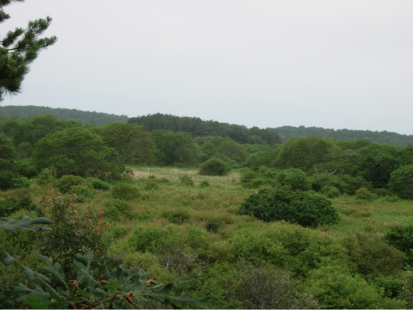 A brush meadow in the diked river's flood plain. Upland vegetation has intruded into salt marsh habitat.
