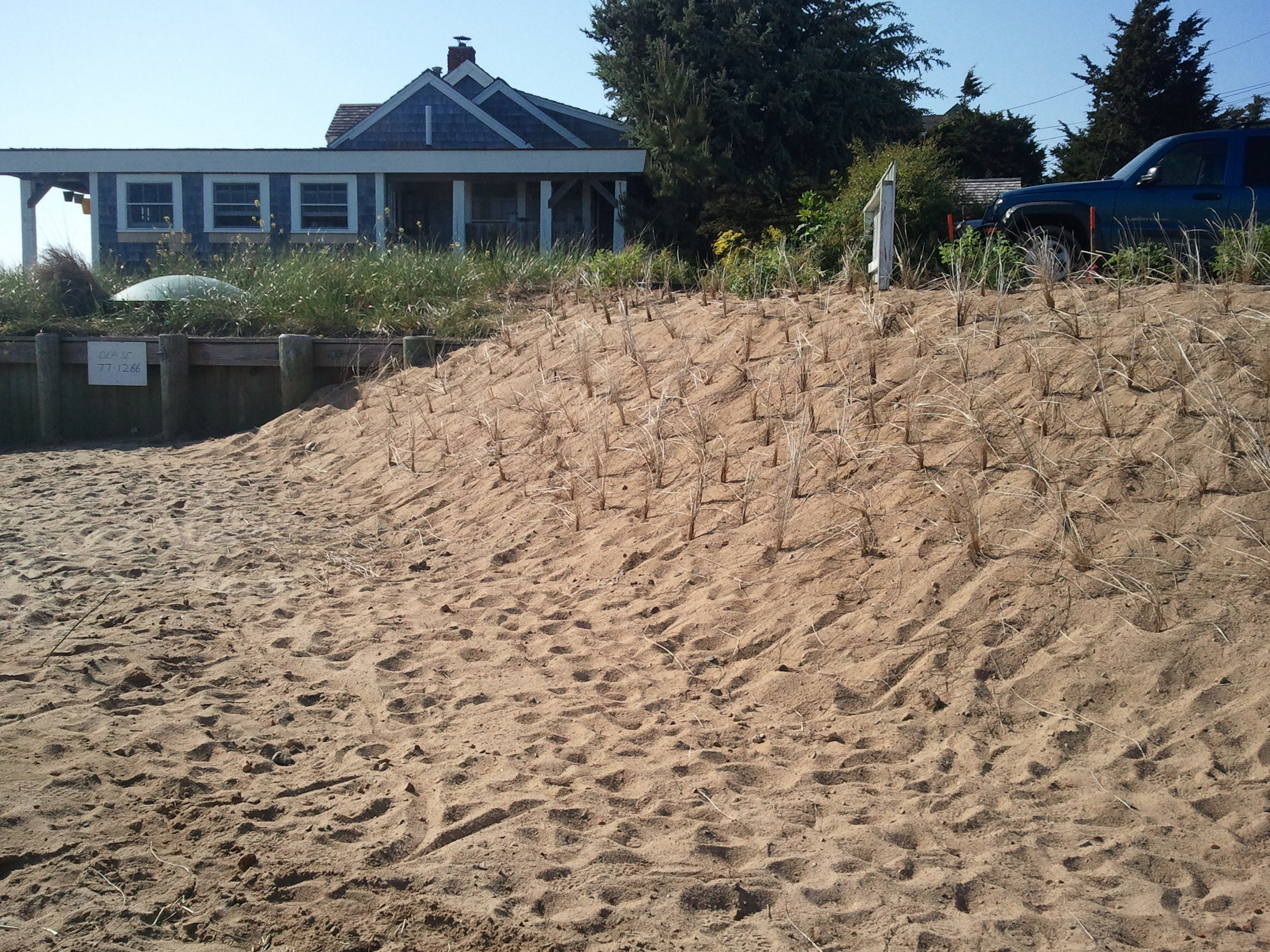 Beach Grass Planted.
