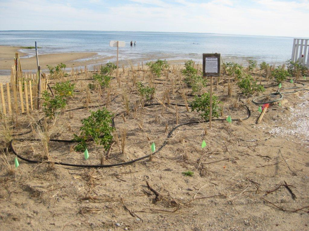 Native vegetation restored (Beach Grass, Roses)